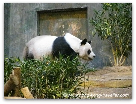Jia Jia at the Giant Panda Habitat