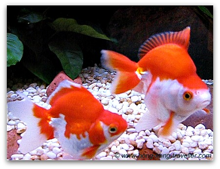 Goldfish Tanks Ocean Park
