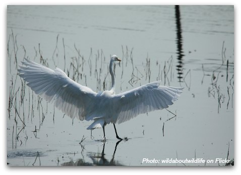 Birds of Hong Kong: Great Egret