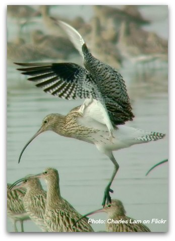 Birds of Hong Kong: Eurasian Curlew