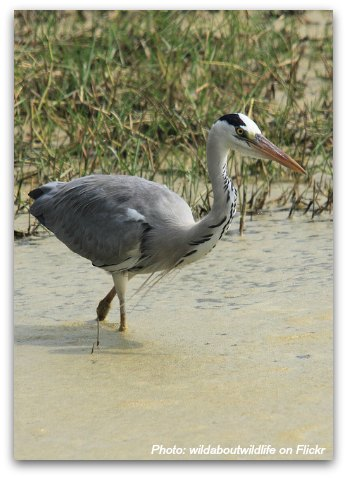 Birds of Hong Kong: Gray Heron