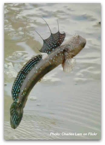 Birds of Hong Kong: Mudskipper