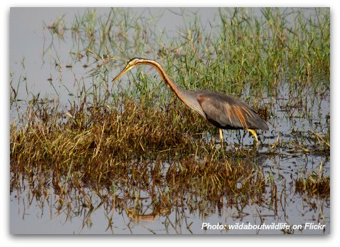 Birds of Hong Kong: Purple Heron