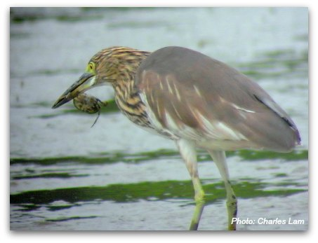 Mai Po Nature Reserve: Chinese Pond Heron eating a crab