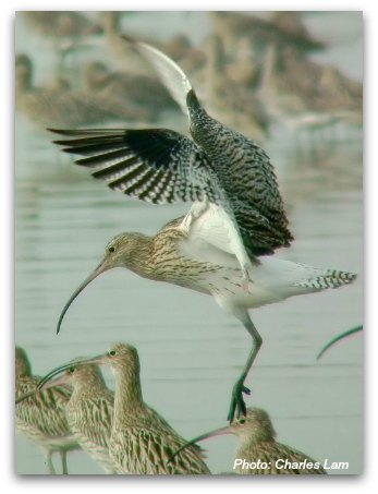 Mai Po Nature Reserve: Eurasian Curlew