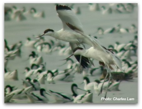 Mai Po Nature Reserve: Pied Avocet in flight