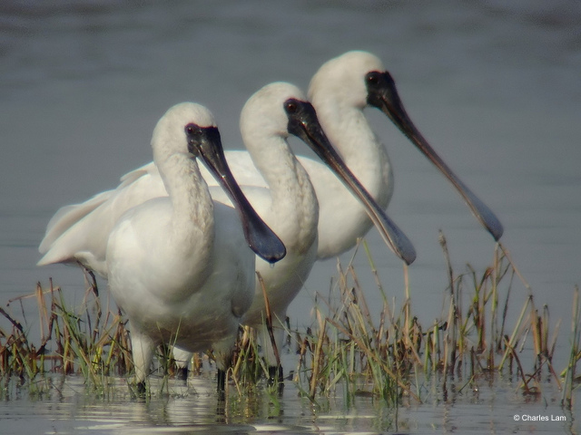 A trio of Black-Faced Spoonbills at Mai Po Nature Reserve