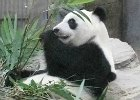 Giant Panda at Ocean Park eating bamboo