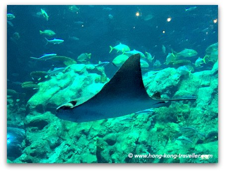 Ocean Park Grand Aquarium Eagle Ray