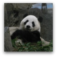 Ocean Park Highlights: Giant Pandas
