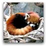 Ocean Park Highlights: Red Pandas