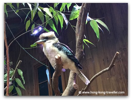 Laughing Kookaburra at Ocean Park