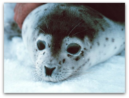 Ocean Park North Pole Encounter Spotted Seal