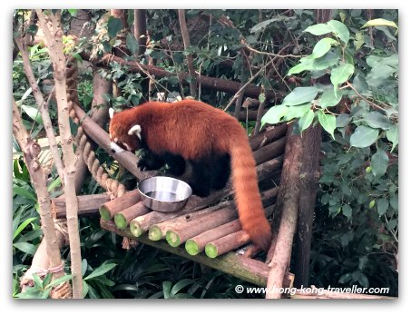 Endangered Red Pandas at Ocean Park