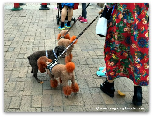 Cute groomed doggies at the Sai Kung Promenade
