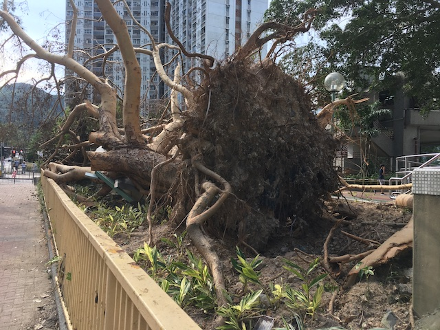 Uprooted trees after typhoon Mangkhut