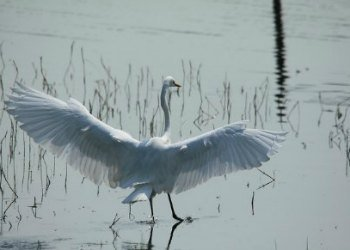 Great Egret in Nature Reserve in HK