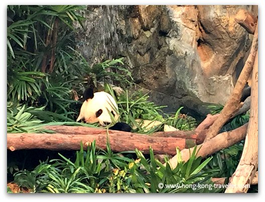Giant Panda at Ocean Park munching away