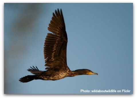 Birds of Hong Kong: Great Cormorant