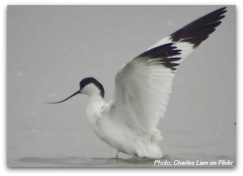 Birds of Hong Kong: Pied Avocet