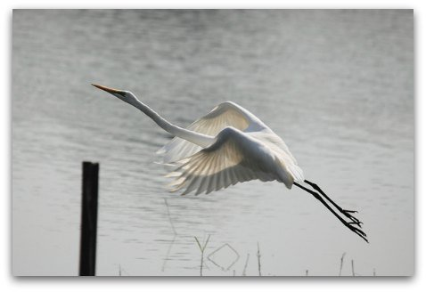 Hong Kong Wetland Park: An egrret in flight seen at the park