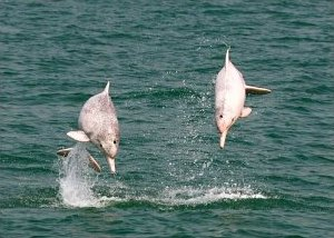 Pink Dolphins in Hong Kong