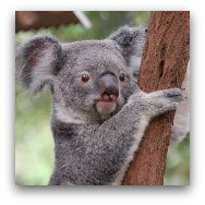 Ocean Park Highlights: Koalas at Australian Adventure