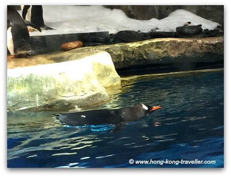 Ocean Park South Pole Spectacular  Gentoo Penguin Swimming