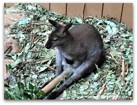 Red Necked Wallabies at Ocean Park
